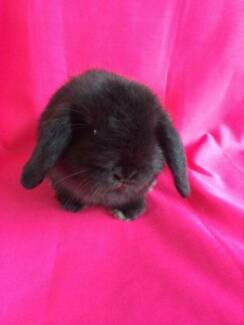 ♥♥♥ Mini Lop Single Storey Hutch Package ♥♥♥ Londonderry Penrith Area Preview