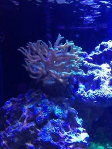 Saltwater coral frags for sale