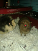 free 2 male guinea pig and large cage