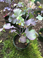 Perennial Purple Tree Collard (Kale)