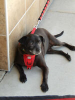 **Handsome Hank - CHIHUAHUA cross is available for adoption***