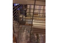 For sale male budgie