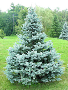 7 FOOT BLUE SPRUCE TREES (6 AVAILABLE)(PAID $500+EACH)