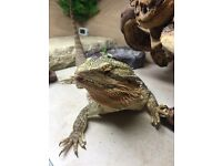 Bearded Dragon & Complete Setup - Very Reluctant Sale