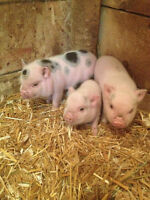 Mini Micro Pet Pigs For Sale