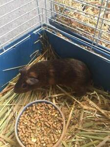 Gorgeous baby guinea pigs - males & females South Penrith Penrith Area Preview
