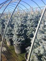 !!!EVERGREENS, SHADE TREES, PLANTERS & MORE!!!