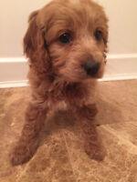 Mini Goldendoodle Puppies RED and GOLD AVAILABLE
