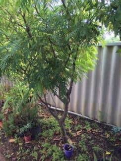 Curry plants and leaves Waterford South Perth Area Preview