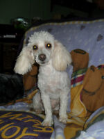 miniature poodle male