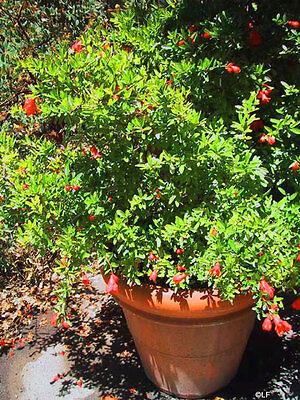 10 pz pianta piante melograno nano frutto arbusto giardino vaso 7 cm 15-20