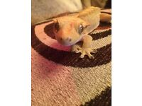 X 2 Crested Geckos with 2 full set ups for sale