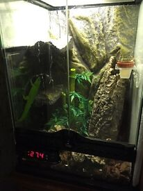 Day Gecko with viv
