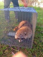 Animal Live Trap for Rent ( Racoons)