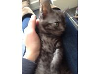 Beautiful silver grey tabby british short hair x kitten