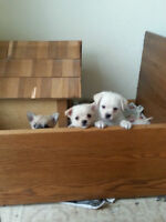 Chihuahua-Shiranian Puppies
