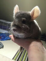 Chinchilla- Forever home needed!