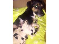 Jack Russell Puppies Miniature