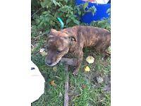 Staffie 3 year old dog