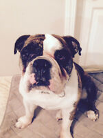 English Bulldog - Rehome to experienced bulldog owner/trainer