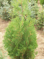 Trees and evergreens for sale -- Wow ONLY $11