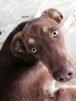 6 Month Old Lab/Husky Male: Great for Families, Loving