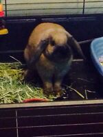 Female Holland lop bunny