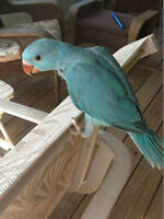 BB Perruche a collier BLEU, LACEWING &CREMINO Indian Ringneck