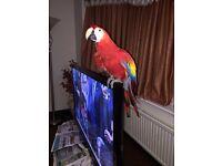 Scarlett macaw for sale