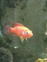 Beautiful Red Jewel Cichlids for sale immediately !!