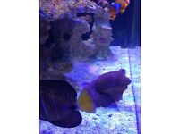 Marine Reef Sailfin Tang and Pair of clownfish and clean up crew
