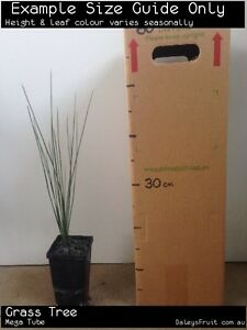 Grass Tree Seedling (Xanthorrhoea glauca) Tree Plant