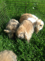 Baby Holland Lop Bunnies (10 to choose from)