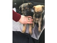 Collie X German Shepard puppies for sale