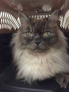 Pure bred beautiful ragdoll to loving home