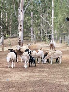 $100.00 Sheep and Lamb for sale