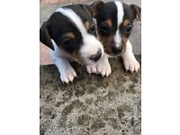 Beautiful pups for sale 2 girls left