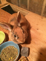 Beautiful Bunny For Sale $85