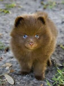 Looking for a Brown Pomeranian Puppy.