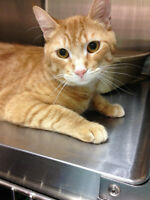 Very handsome affectionate orange tabby needs a forever home!