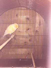 Yorkshire Canary for sale in London