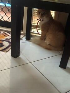 LOST family cat Belmore Canterbury Area Preview