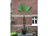 Trachycarpus Fortunei Palm Tree 9-10ft