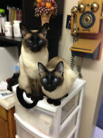Siamese cats: Lionel and Richie, must stay together.