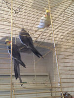 cockatiels and budgies for sale