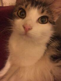 Beautiful tabby cat £100