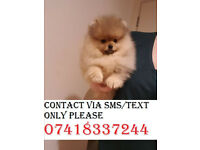 Kc Reg !Pomeranian! Girl