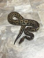 Ball Pythons Available!