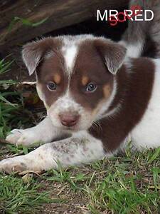 Cattle Dog X Kelpie/Koolie Pups Rydal Lithgow Area Preview