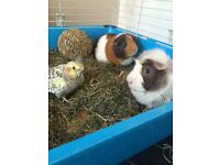 Two Male Guinea Pigs, Hutch and Cage FOR SALE